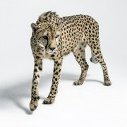Gepard - Arab
