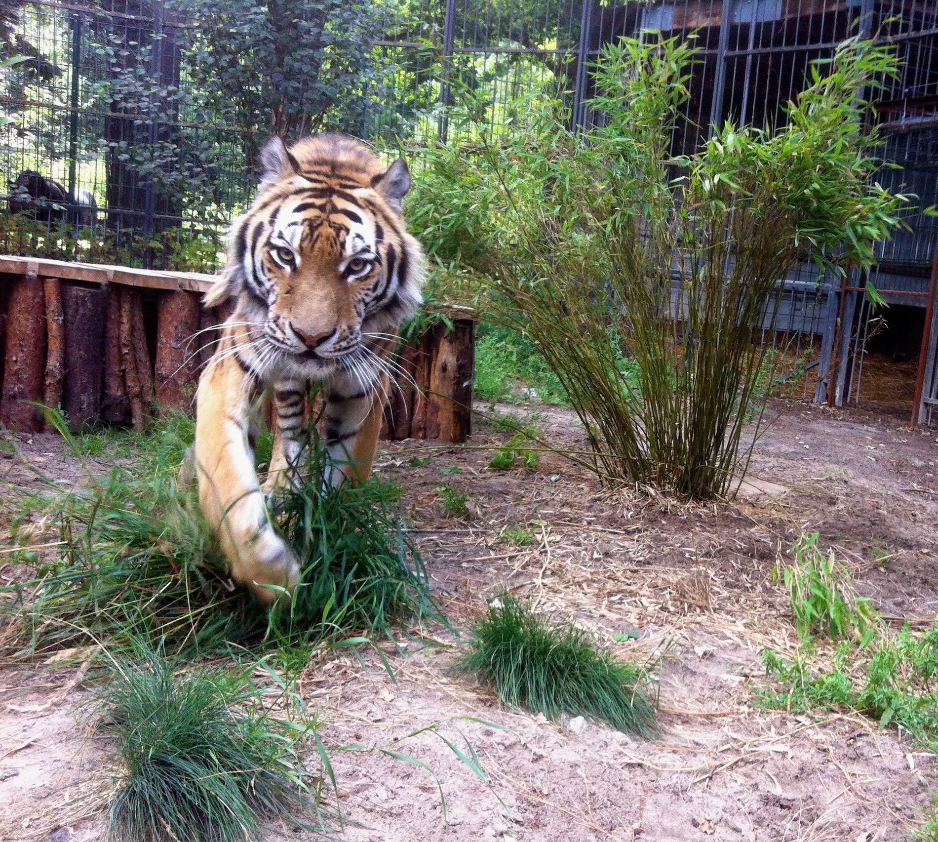 Sibirischer Tiger - Amba