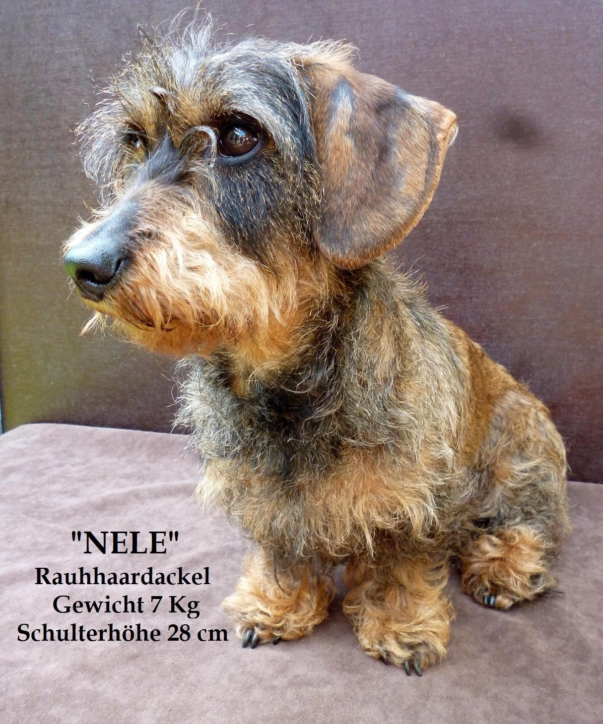 Dackel - Nele