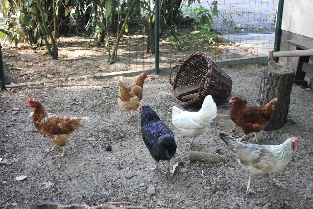 Hühner Schar