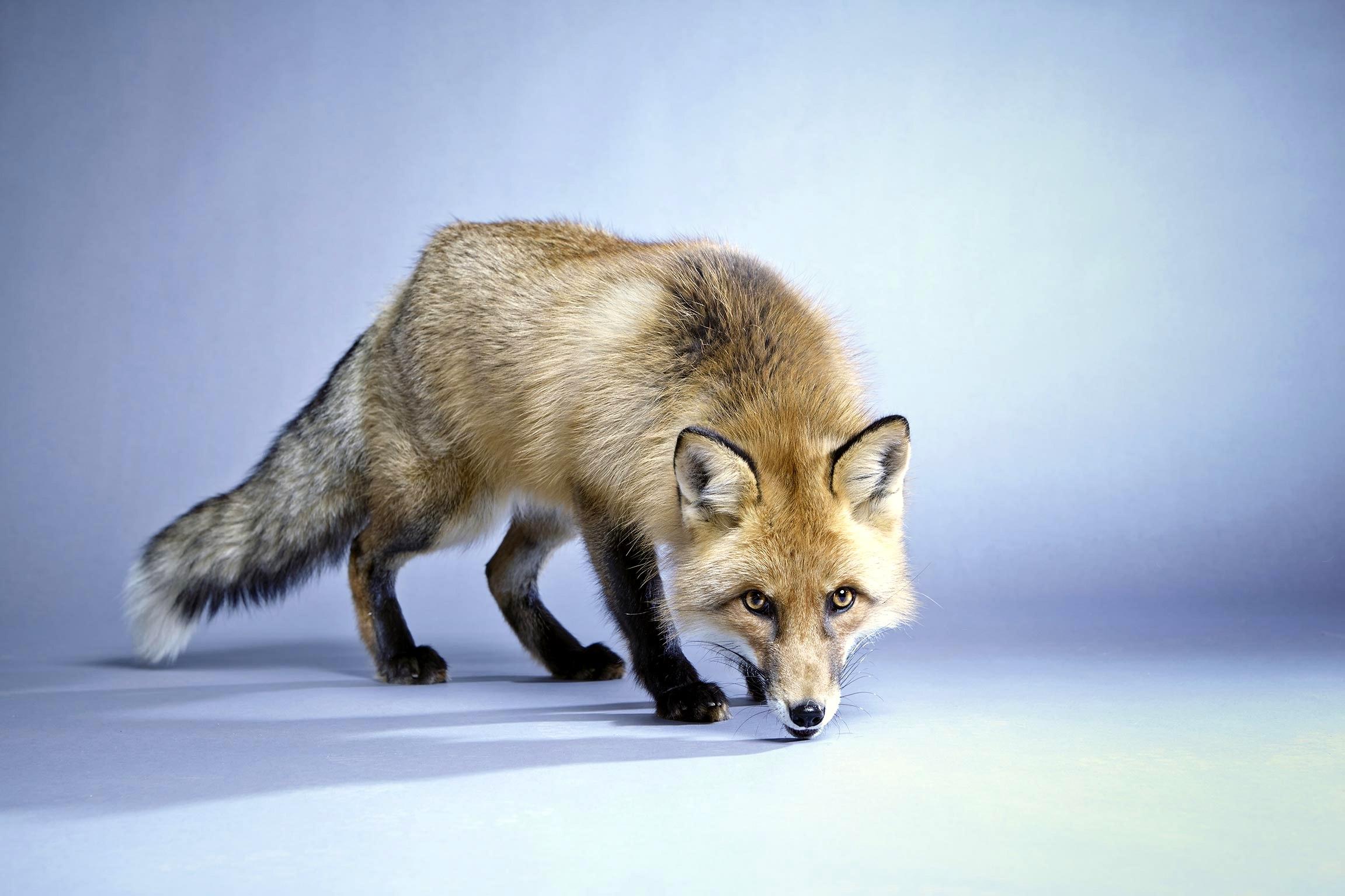 Rotfuchs - Foxi