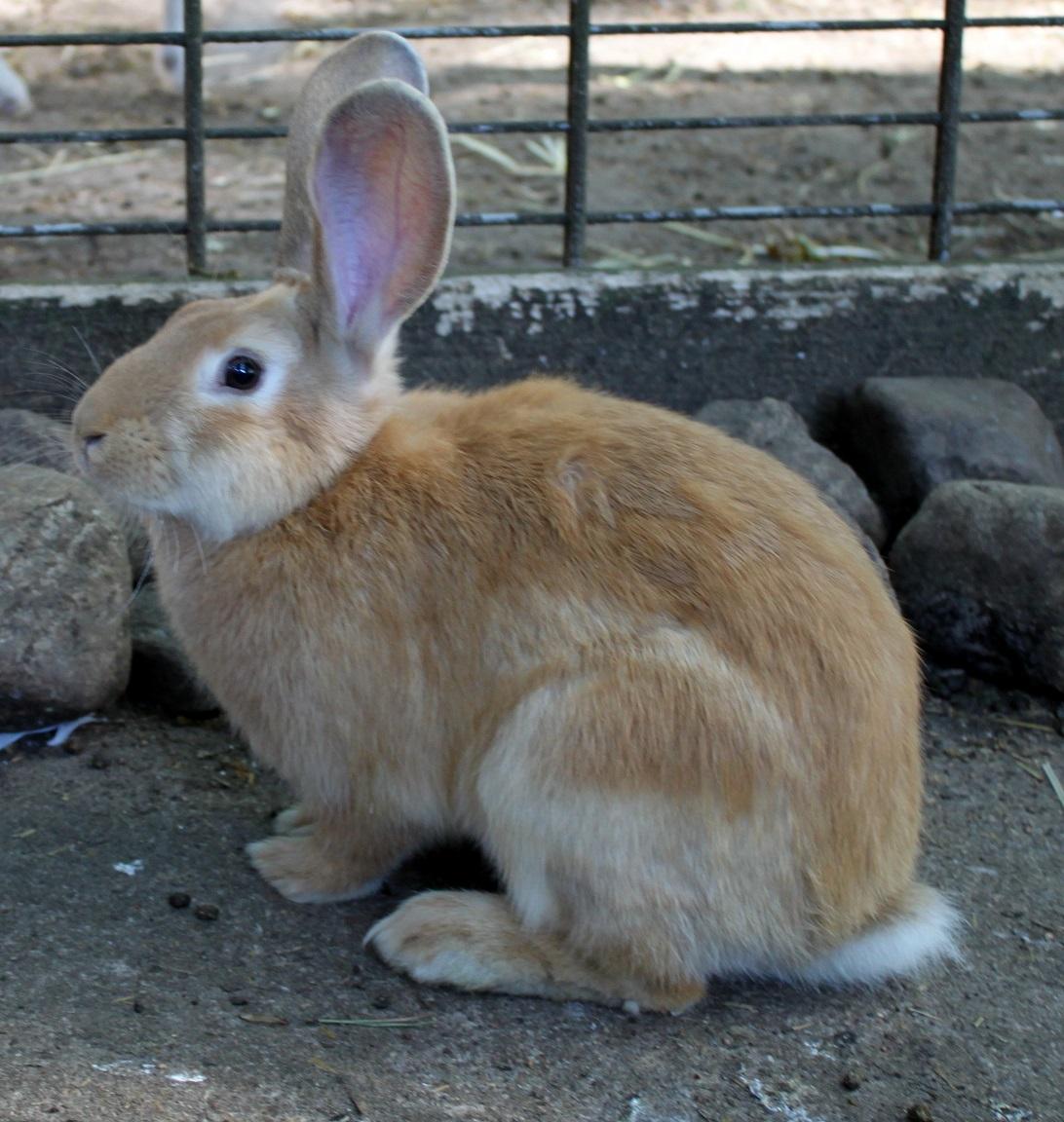 Kaninchen gelb
