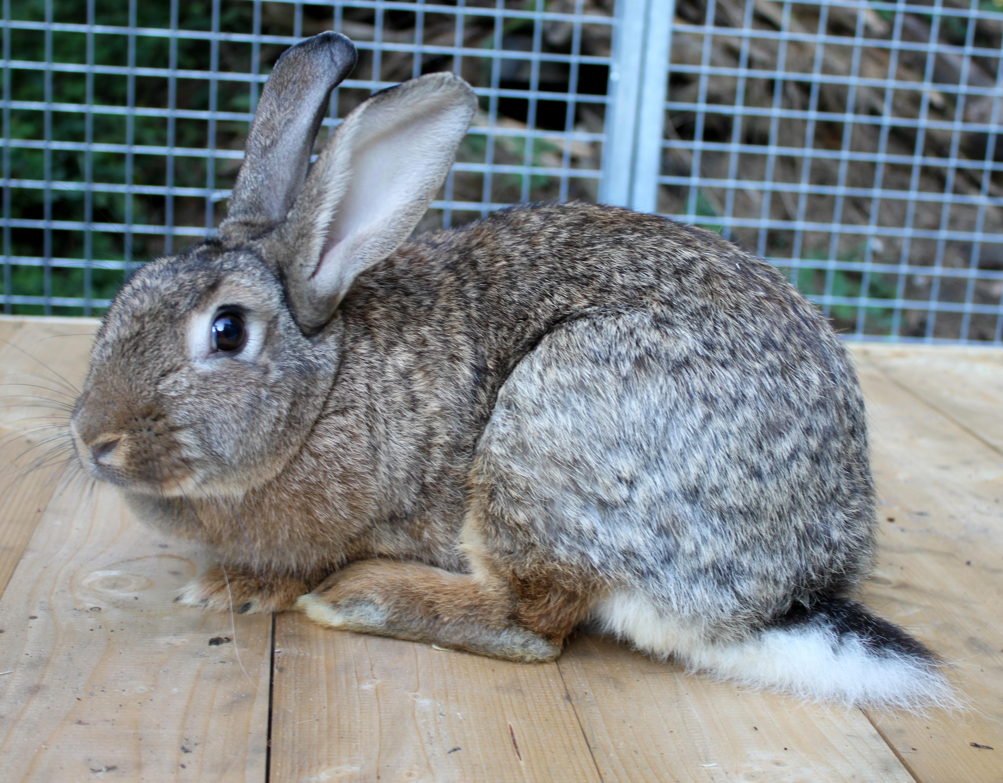 Kaninchen Wildfarben