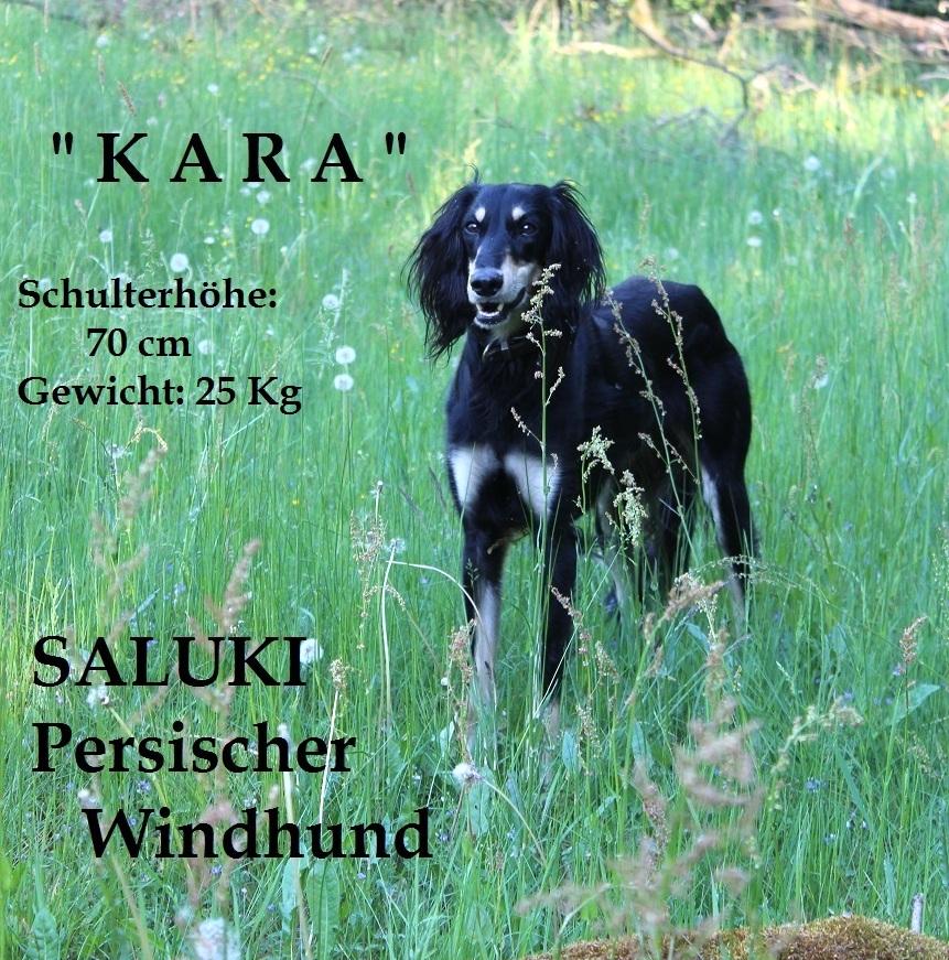 Saluki - Kara