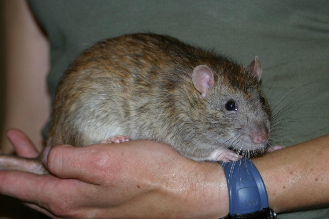 Ratte - wildfarben