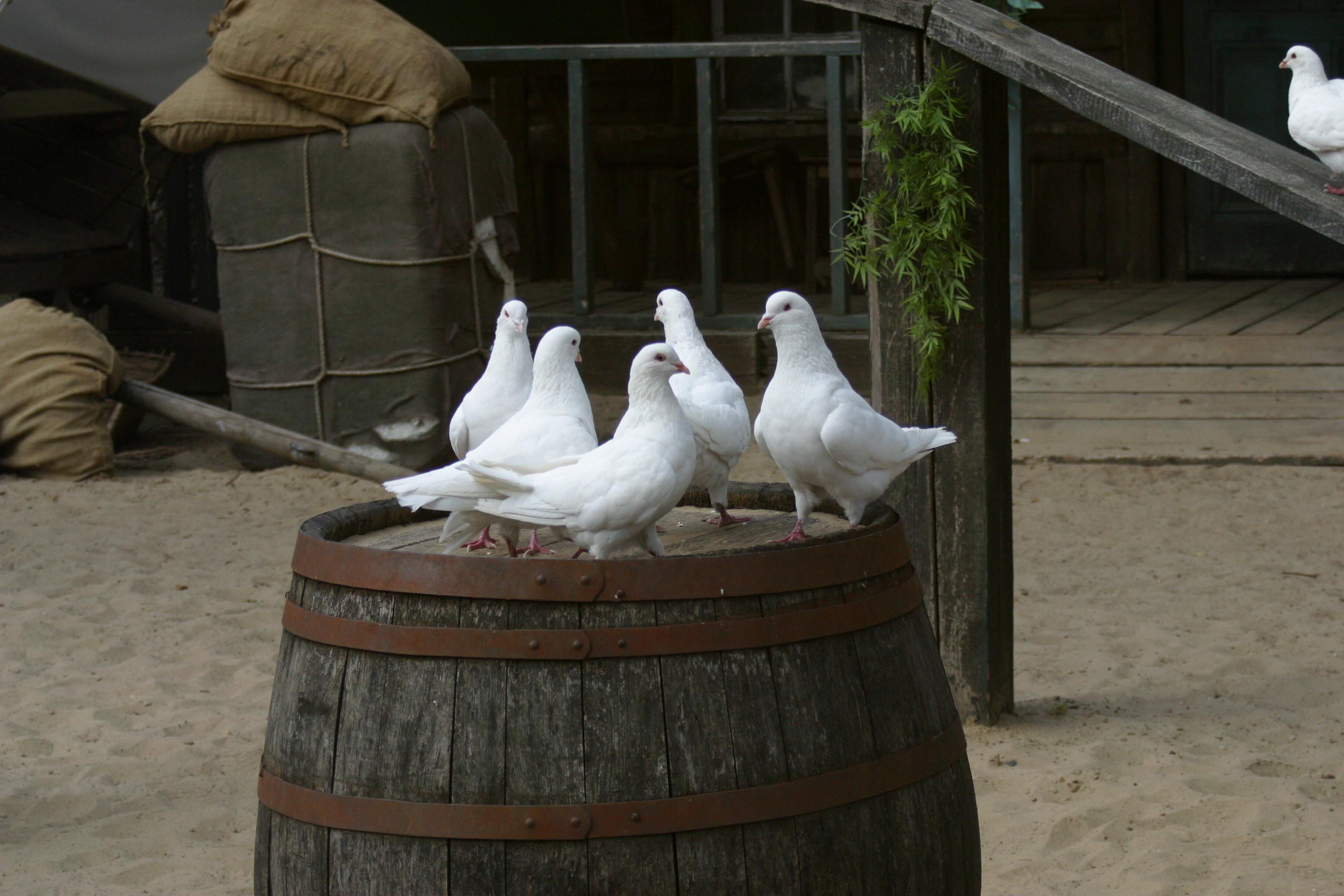 Tauben  - weiß