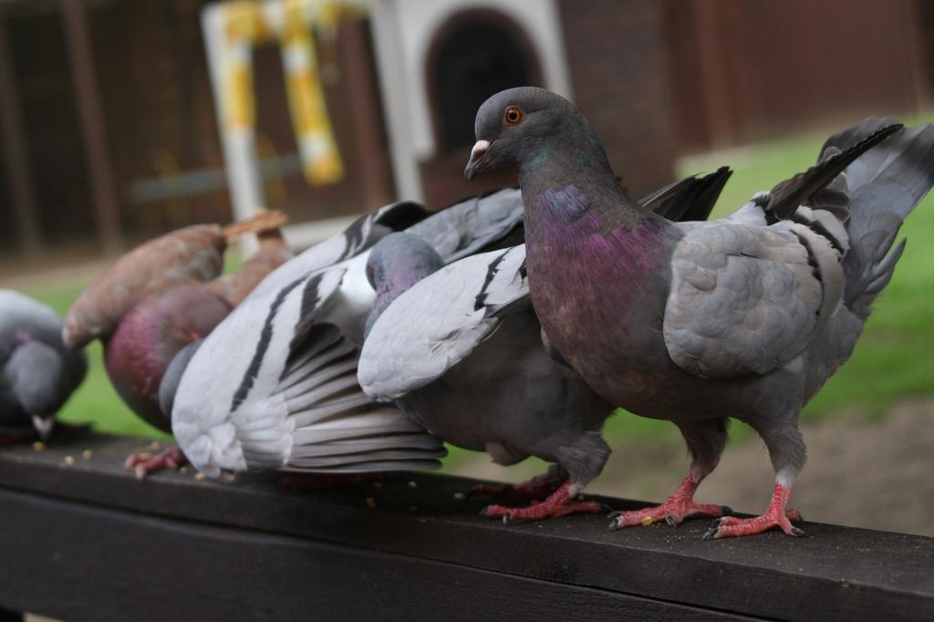 Tauben - wildfarben