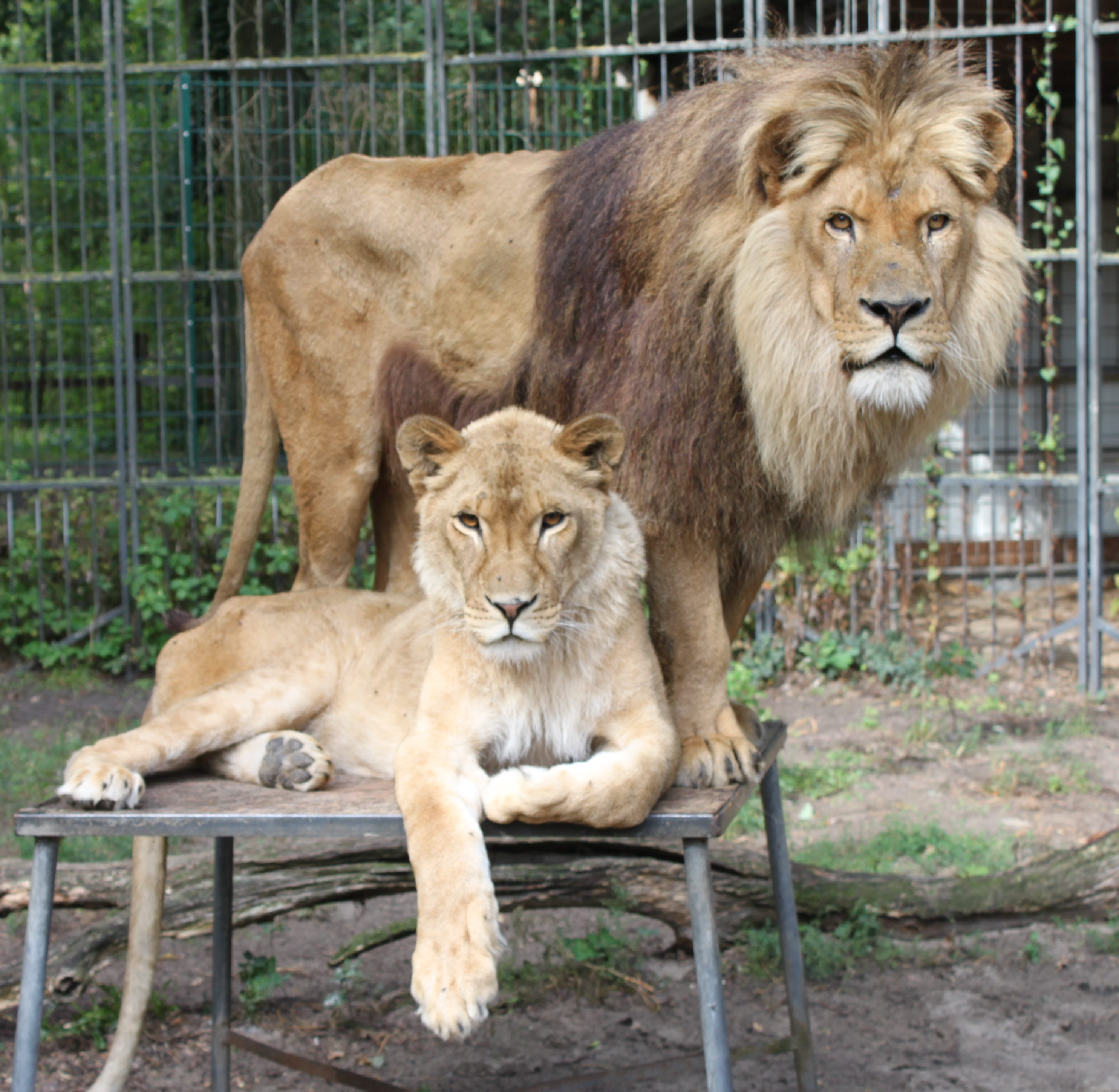 Löwenpärchen - Zulu und Joy