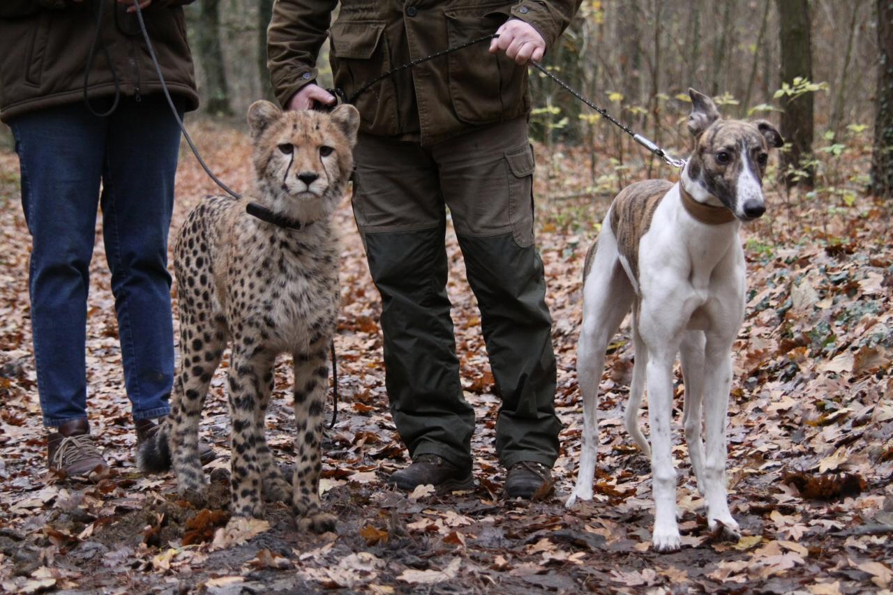 Windhund & Gepard als Jungtiere