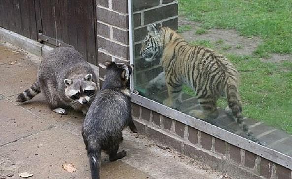 Waschbär+Tiger